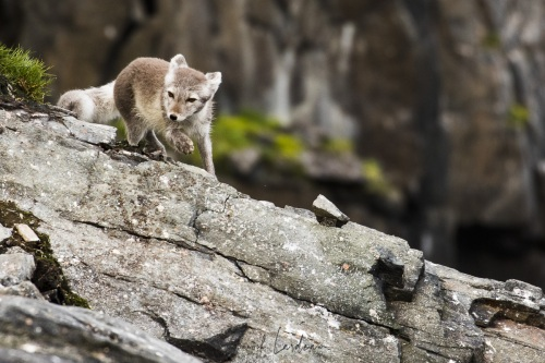 renard polaire en maraude
