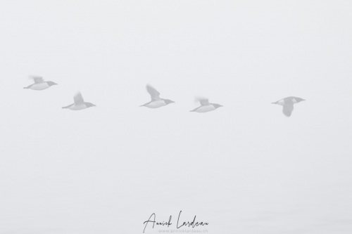 Guillemot de Brunnich dans le brouillard