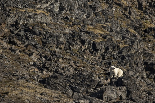Ours polaire gravissant un col