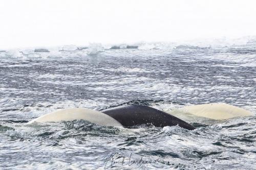 Beluga: deux adultes et un jeune