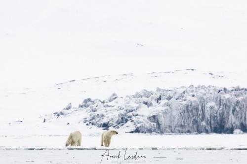 Ours polaire: rencontre pacifique de deux individus