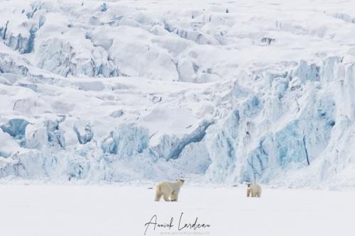 Ours polaire: rencontre de deux jeunes individus
