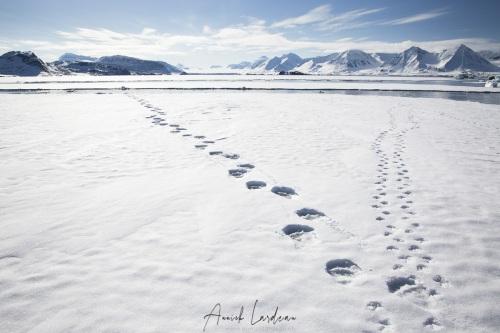 Empreintes d'ours et de renard polaire sur une plaque de banquise de fjord