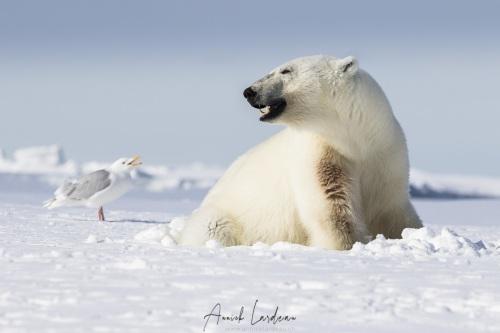 Ours polaire: discussion avec le goéland bourgmestre?