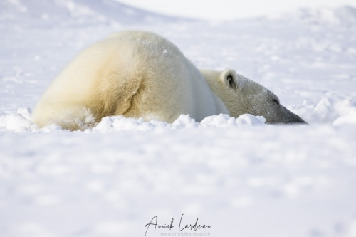 Ours polaire  à la sieste