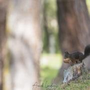 Grisons: Ecureuil roux et sa pomme d'arolle